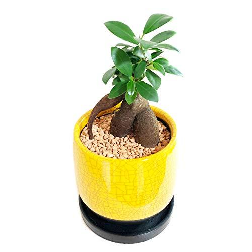 【2021年最新版】初心者向け観葉植物の人気おすすめランキング20選【室内でも育てやすい】のサムネイル画像