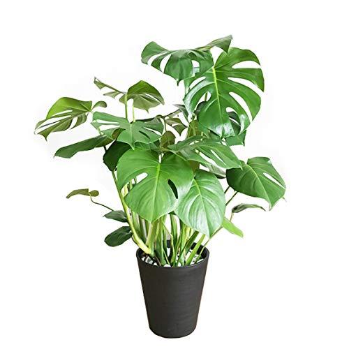 【2021年最新版】大型観葉植物の人気おすすめランキング19選【屋内用・屋外用ともにご紹介】のサムネイル画像
