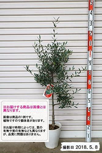 オリーブのシンボルツリーの人気おすすめランキング15選【鉢植えも】のサムネイル画像
