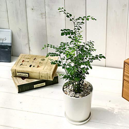 シンボルツリー・シマトネリコの人気おすすめランキング15選【5000円以下の値段も】のサムネイル画像