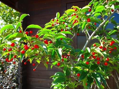 ソヨゴ(シンボルツリー )の人気おすすめランキング15選【赤い実がなる常緑樹】のサムネイル画像