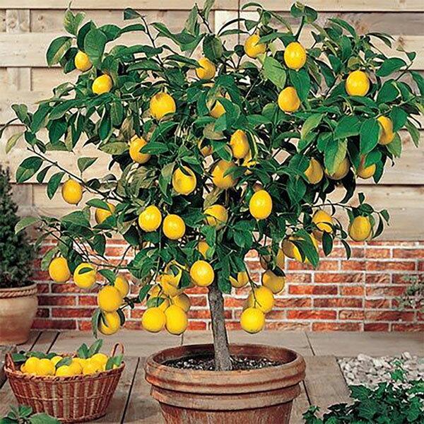 シンボルツリー(レモン)の人気おすすめランキング15選【2020年最新】のサムネイル画像