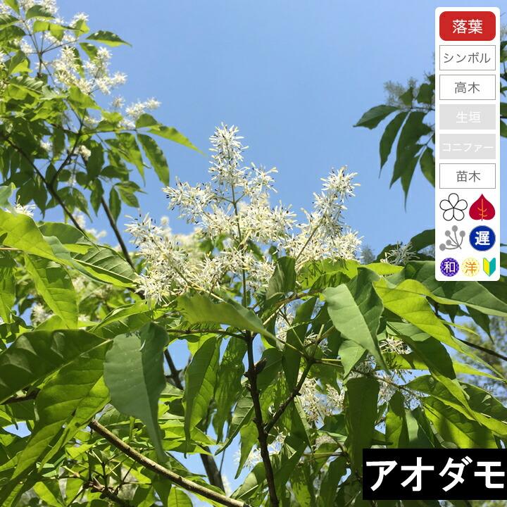 シンボルツリー ・アオダモの人気おすすめランキング15選【紅葉・花を楽しむ】のサムネイル画像